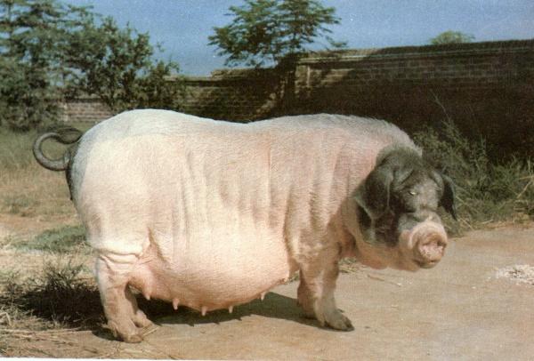 产于湖北当阳市的清平猪,是集我国地方猪种优良特性于一身的著名中国黑猪猪种,是国家重点保存的7个优良地方猪种之一,繁殖力强、妊娠期短、发情明显,配种容易受胎,有效奶头7--9对,窝均产13.57头,妊娠期111.51天,平原、湖区、丘陵、山区均可饲养。   湖北省当阳市清平种猪场是国内唯一的清平猪保存、选育场,是国家级畜禽品种资源场,1993年被国家农业部确定为国家级重点种畜禽场。1999年由农业部核发了《种畜禽生产经营许可证》。该场现有基础母猪300头,可常年提供清平纯种母猪以及大清、长清二杂母猪,年